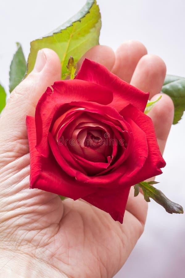 Ένα άτομο κρατά ότι ένα κόκκινο αυξήθηκε στο χέρι του, ένα σύμβολο της αγάπης Ένα άτομο δίνει στοκ εικόνες με δικαίωμα ελεύθερης χρήσης