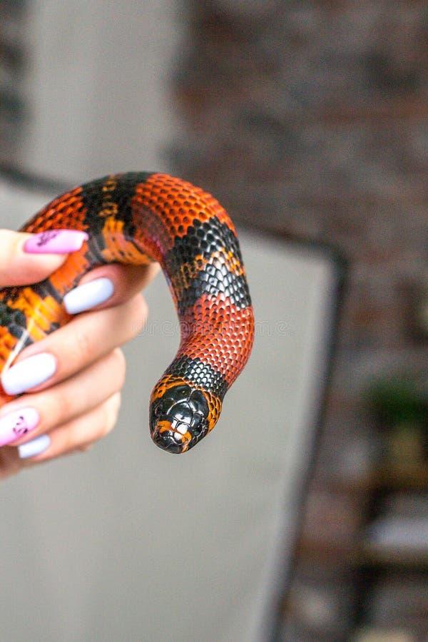 Ένα ήμερο μεγάλο κόκκινο φίδι γάλακτος handurass τυλίγεται γύρω από το χέρι μιας γυναίκας στοκ φωτογραφία με δικαίωμα ελεύθερης χρήσης