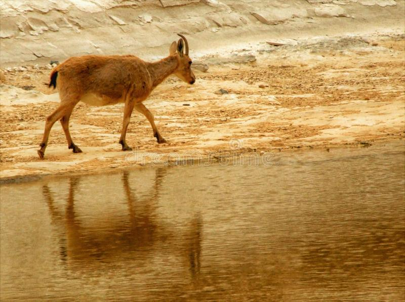 Ένα αγριοκάτσικο απεικόνισε στο νερό στην έρημο - μια όαση στοκ φωτογραφίες με δικαίωμα ελεύθερης χρήσης