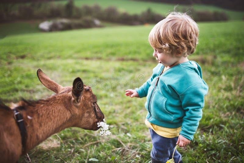 Ένα αγόρι μικρών παιδιών που ταΐζει μια φύση εξωτερικού αιγών την άνοιξη στοκ φωτογραφία