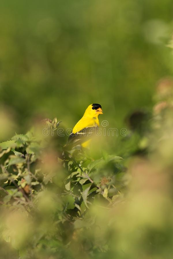 Ένα αμερικανικό Goldfinch εσκαρφάλωσε μεταξύ των πράσινων Μπους και των θάμνων, Tarrytown, εκτός κράτους Νέα Υόρκη, Νέα Υόρκη στοκ φωτογραφίες
