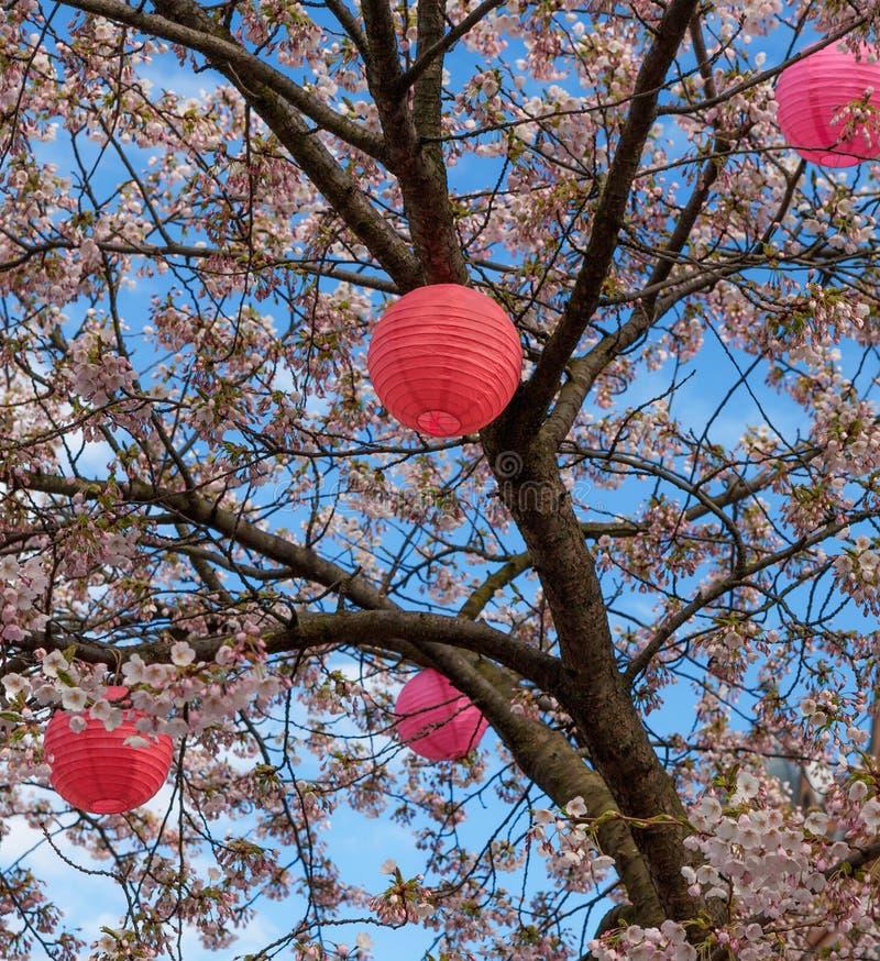 Ένα ανθίζοντας δέντρο κερασιών με το ιαπωνικό φανάρι στοκ φωτογραφία με δικαίωμα ελεύθερης χρήσης