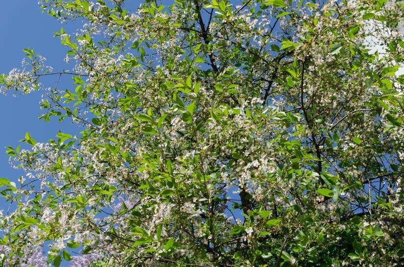 Ένα ανθίζοντας δέντρο μηλιάς ενάντια σε έναν μπλε ουρανό Ξύπνημα της φύσης Η έννοια της άνοιξη στοκ εικόνες