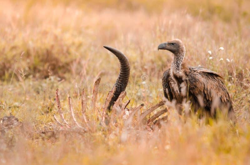 Ένα απομονωμένο νεανικό λευκόραχο africanus γύπων gyps δίπλα σε ένα σφάγιο Εθνικό πάρκο Kruger, Νότια Αφρική στοκ εικόνα με δικαίωμα ελεύθερης χρήσης