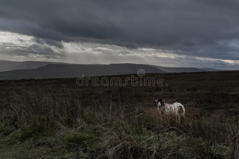 Ένα απόμερο πρόβατο σε έναν ψυχρό δένει στοκ εικόνα