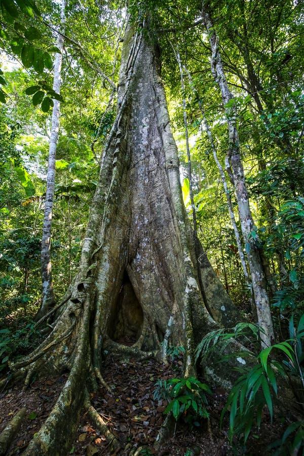 Ένα από τα δέντρα της ζούγκλας στη λίμνη Σάντοβαλ Puerto Maldonado, Περού στοκ εικόνες με δικαίωμα ελεύθερης χρήσης