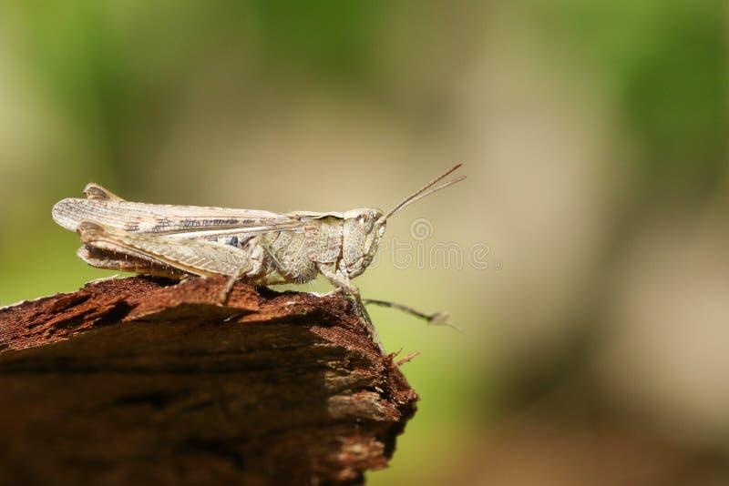 Ένα αρκετά κοινό Grasshopper τομέων brunneus Chorthippus εσκαρφάλωσε σε ένα κούτσουρο στοκ φωτογραφία