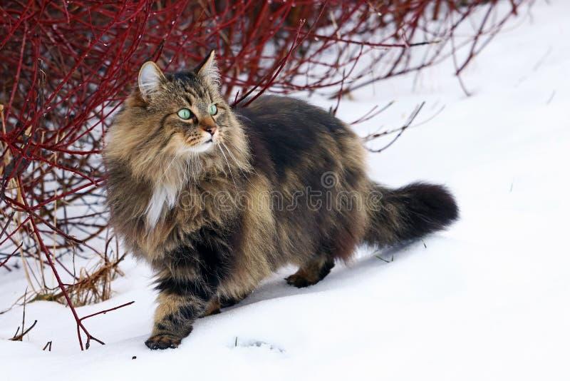 Ένα αρκετά νέο νορβηγικό δασικό κυνήγι γατών στο χιόνι στοκ φωτογραφία με δικαίωμα ελεύθερης χρήσης