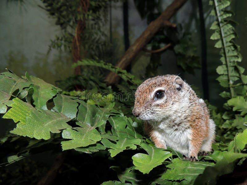 Ένα δασικό ποντίκι στοκ φωτογραφία με δικαίωμα ελεύθερης χρήσης