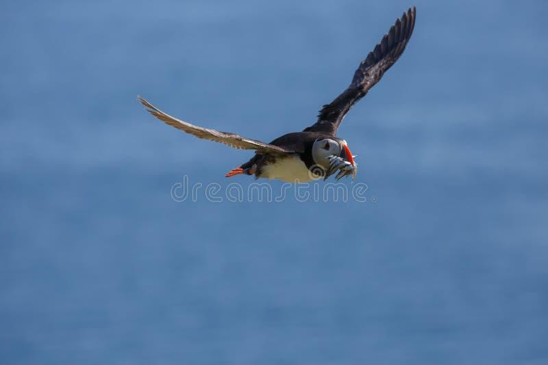 Ένα ατλαντικό puffin που επιστρέφει πίσω από τη θάλασσα στοκ εικόνες