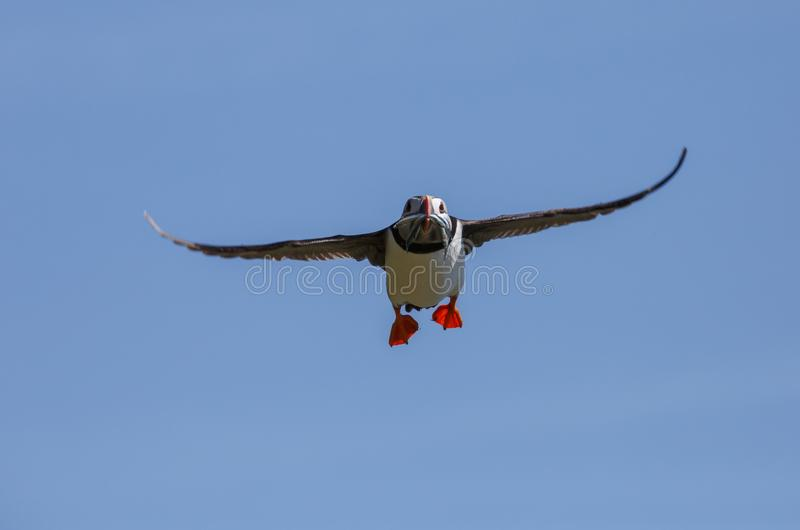 Ένα ατλαντικό puffin που επιστρέφει πίσω από τη θάλασσα στοκ εικόνα με δικαίωμα ελεύθερης χρήσης
