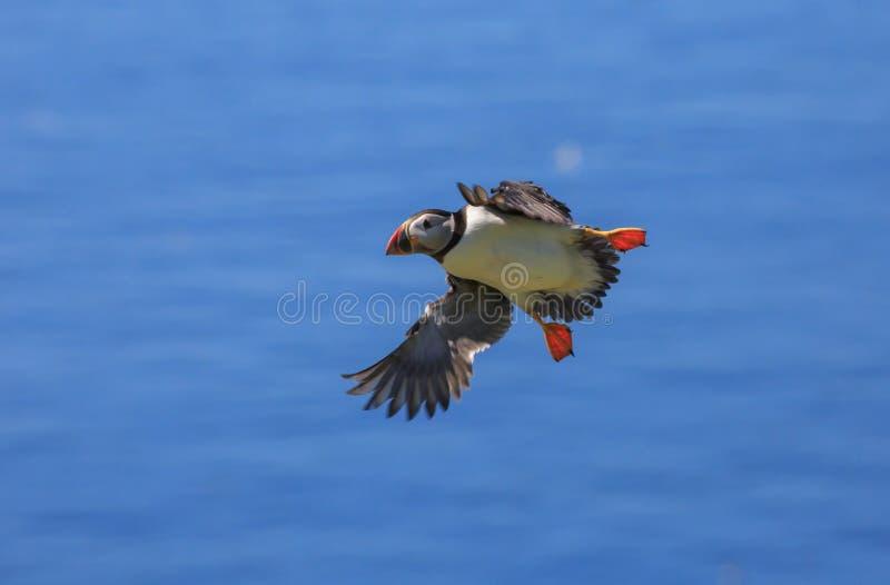 Ένα ατλαντικό puffin που μπαίνει να προσγειωθεί στοκ εικόνα