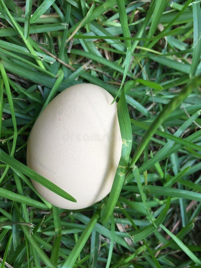 Ένα αυγό κοτόπουλου που βάζει στη χλόη στοκ εικόνες