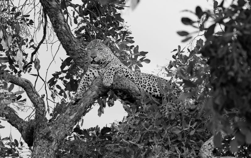 Ένα αφρικανικό πανδοχείο χαλάρωσης λεοπαρδάλεων ματιών ένα δέντρο μαύρος & άσπρος, νότος Luangwa, Ζάμπια στοκ φωτογραφία με δικαίωμα ελεύθερης χρήσης
