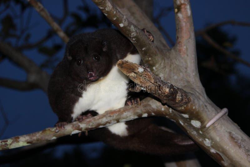 Ένα βουνό Cuscus αναρριχείται στο δέντρο γκοϋαβών τη νύχτα στοκ φωτογραφία με δικαίωμα ελεύθερης χρήσης