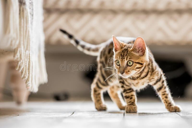 Ένα γατάκι της Βεγγάλης έτοιμο να επιτεθεί ξαφνικά στοκ εικόνες