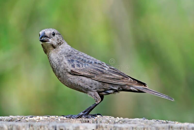 Καφετί διευθυνμένο Cowbird, θηλυκό στοκ φωτογραφία με δικαίωμα ελεύθερης χρήσης