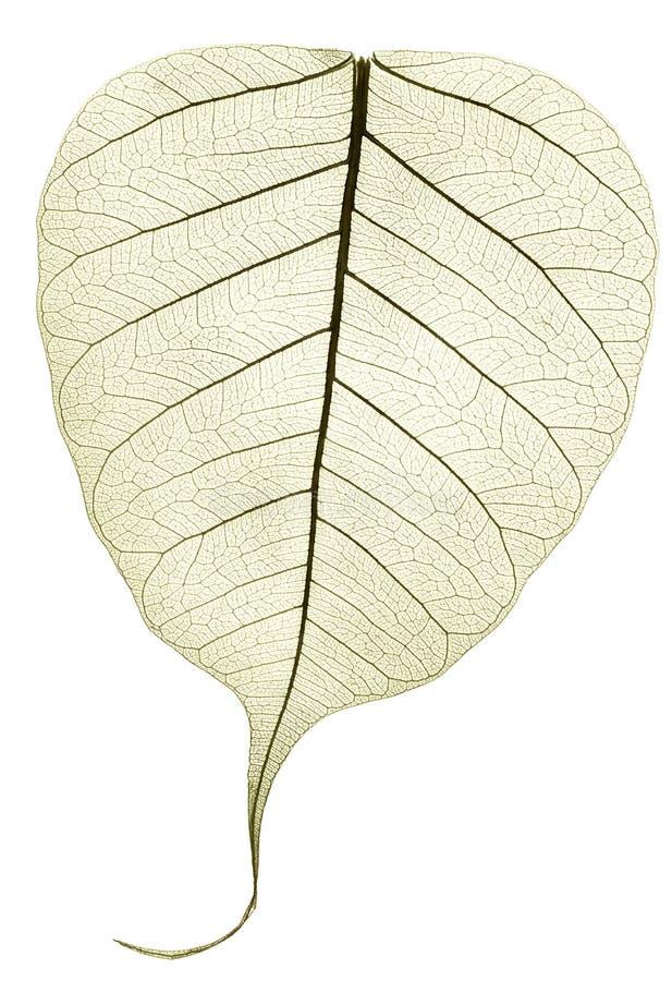 Ένα γκρίζο πράσινο διαφανές ξηρό πεσμένο φύλλο στοκ εικόνες