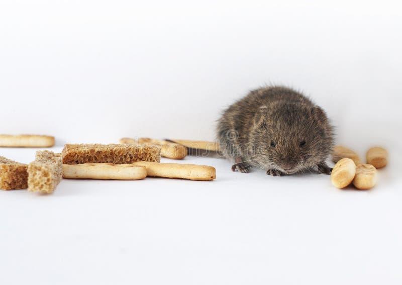 Ένα γκρι λίγο άγριο ποντίκι σε ένα άσπρο υπόβαθρο που κλέβει τις κροτίδες στοκ εικόνες