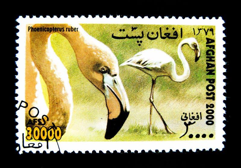 Ένα γραμματόσημο που τυπώνεται στο Αφγανιστάν παρουσιάζει μια εικόνα του πουλιού Phoenicopterus ruber στοκ εικόνες