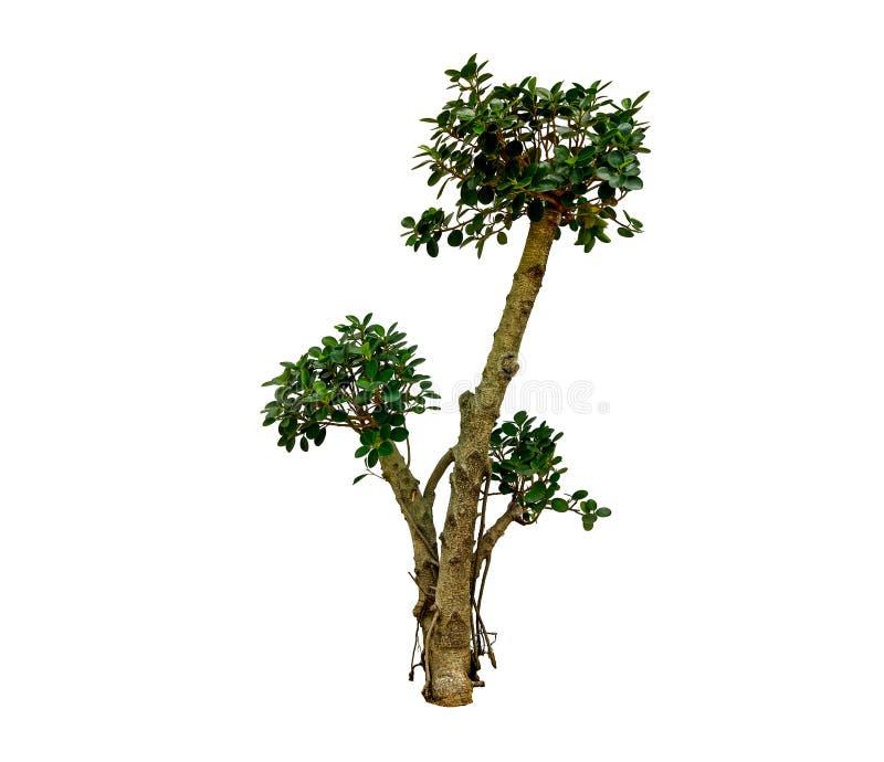 Ένα δέντρο έχει το πράσινο φύλλο στο απομονωμένο άσπρο υπόβαθρο στοκ εικόνα