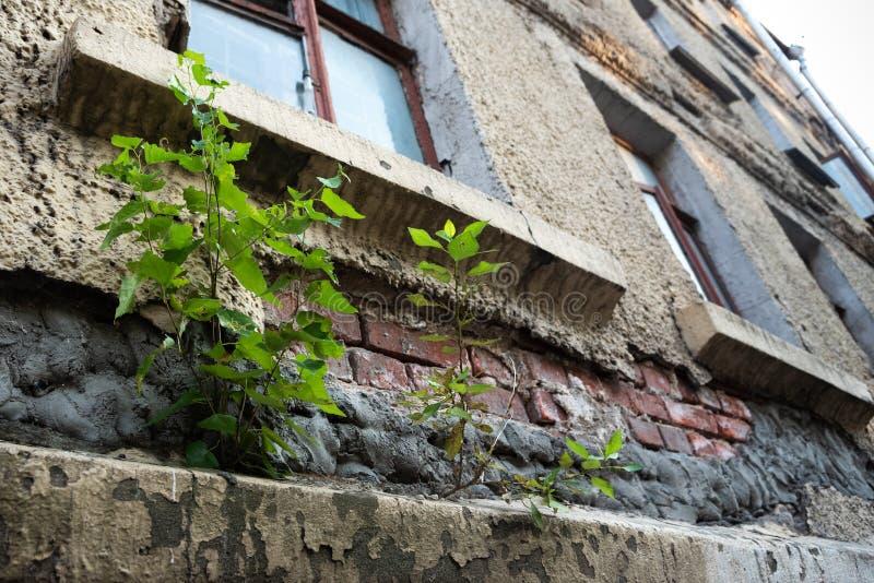 Ένα δέντρο αυξάνεται από έναν παλαιό σπασμένο τοίχο στην πόλη r Οικολογικά προβλήματα στοκ φωτογραφία με δικαίωμα ελεύθερης χρήσης