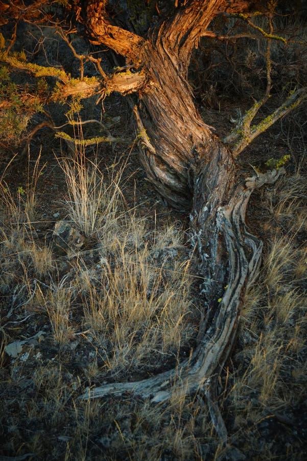 Ένα δέντρο ιουνιπέρων σε αργά το απόγευμα στοκ εικόνα με δικαίωμα ελεύθερης χρήσης