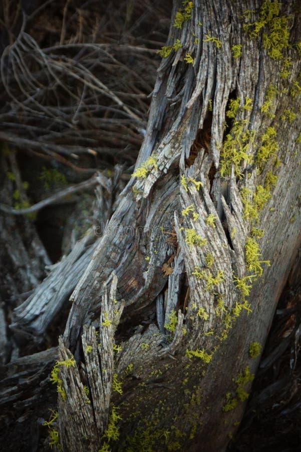 Ένα δέντρο ιουνιπέρων σε αργά το απόγευμα στοκ φωτογραφίες με δικαίωμα ελεύθερης χρήσης