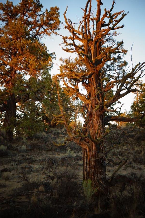 Ένα δέντρο ιουνιπέρων σε αργά το απόγευμα στοκ φωτογραφία με δικαίωμα ελεύθερης χρήσης