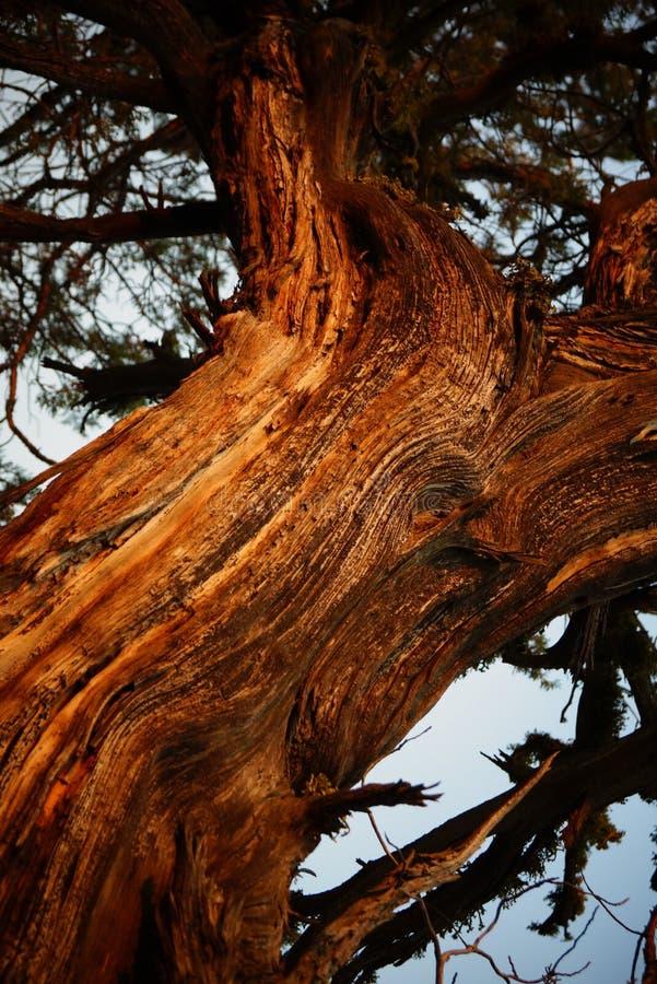 Ένα δέντρο ιουνιπέρων σε αργά το απόγευμα στοκ εικόνες