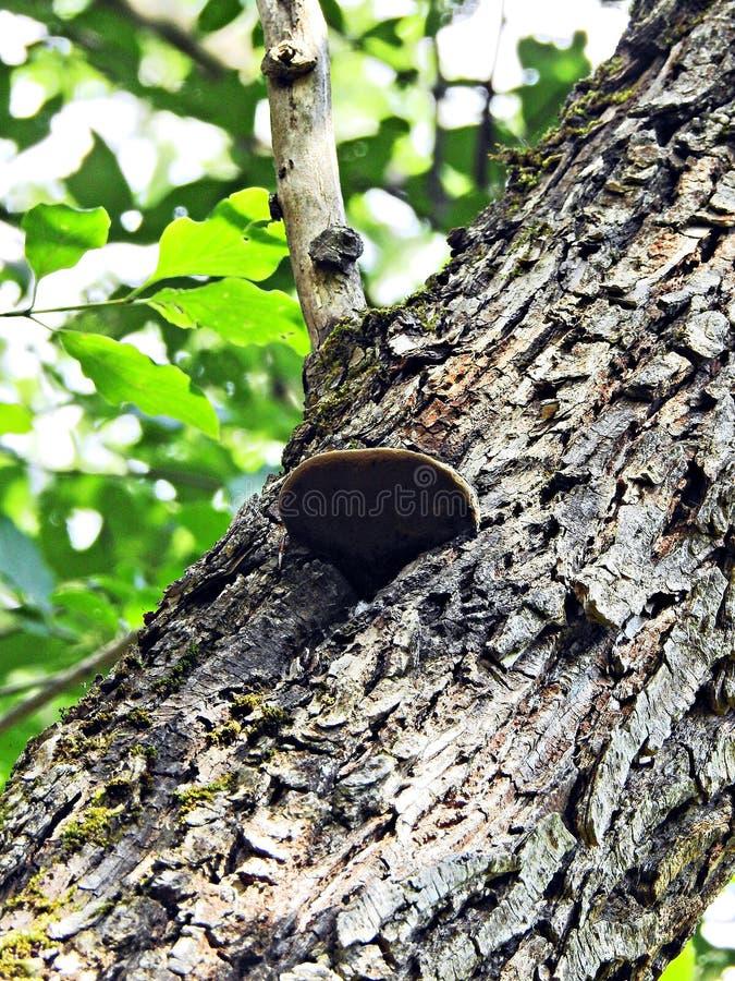 ένα δέντρο με μια ανάπτυξη μανιταριών σε το στοκ εικόνες με δικαίωμα ελεύθερης χρήσης