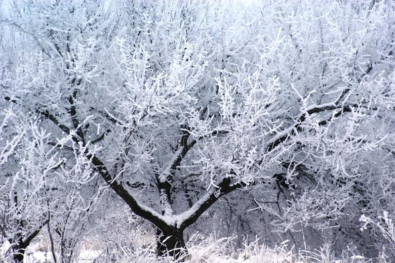 Ένα δέντρο με μια πολυτελή κορώνα διακοσμείται από ένα άσπρο hoarfrost στοκ φωτογραφία με δικαίωμα ελεύθερης χρήσης
