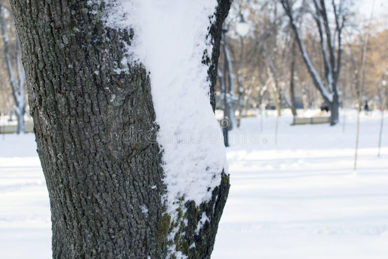 Ένα δέντρο στο πάρκο που καλύπτεται με το χιόνι στους κλάδους με τον αποτυπωμένο σε ανάγλυφο φλοιό στοκ φωτογραφίες