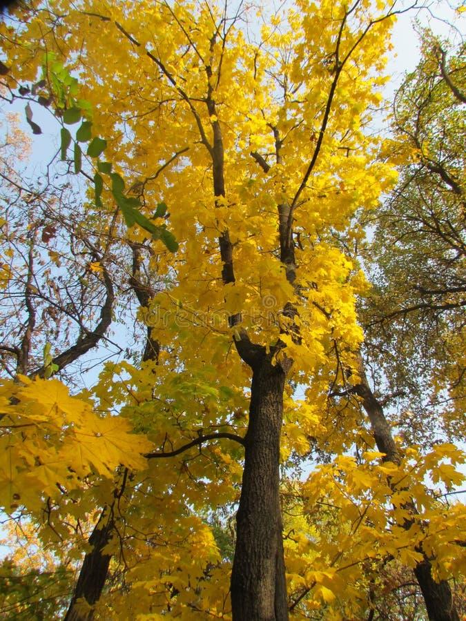 Ένα δέντρο του mapple στοκ φωτογραφία με δικαίωμα ελεύθερης χρήσης