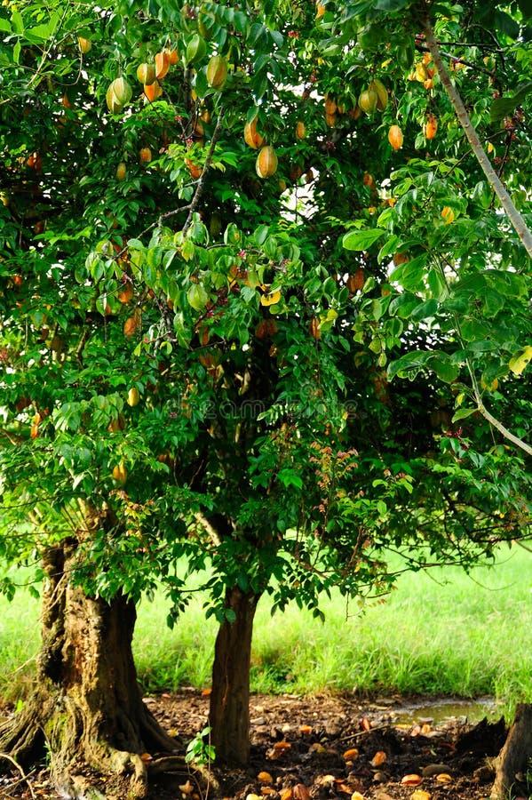 Ένα δέντρο starfruit που φορτώνεται με τα φρούτα στοκ εικόνα