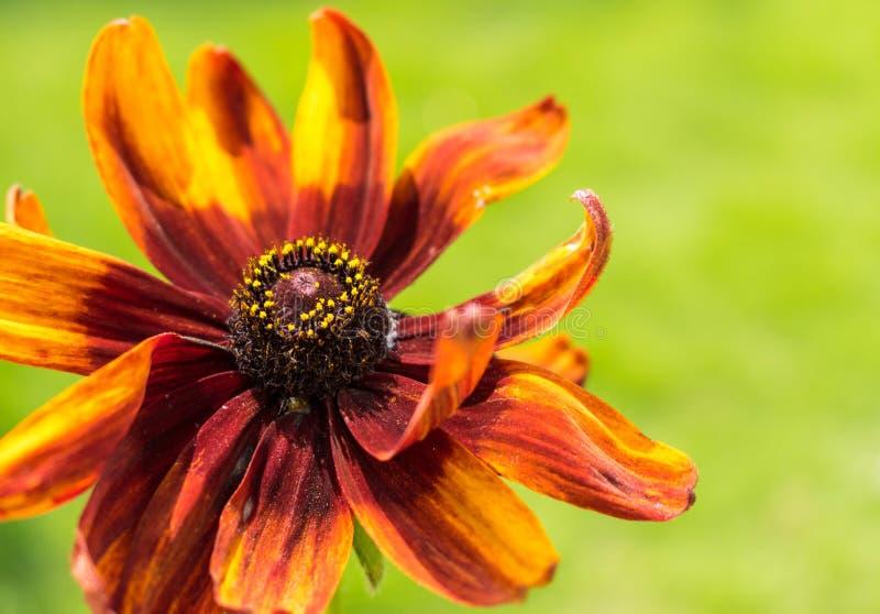 Ένα δονούμενο μαύρο Eyed λουλούδι της Susan που συλλαμβάνεται στη μακροεντολή στοκ φωτογραφία με δικαίωμα ελεύθερης χρήσης