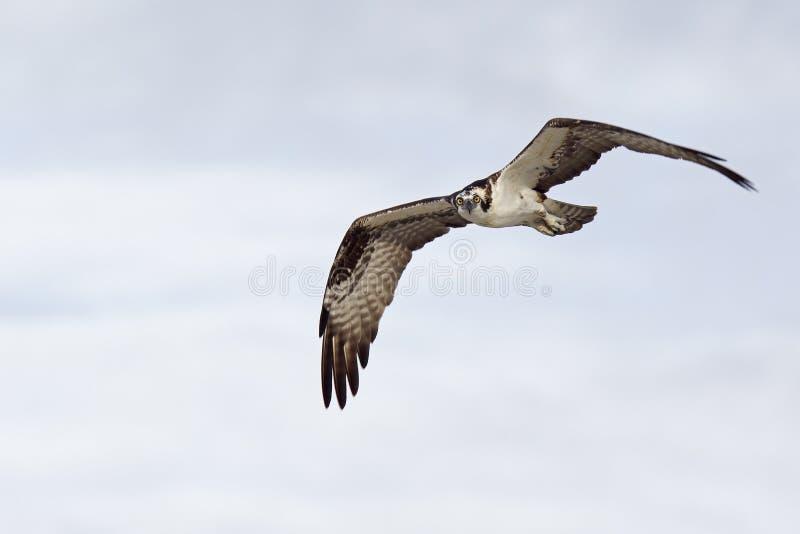 Ένα δυτικό haliaetus Pandion osprey που πετά και που κυνηγά στον ουρανό ανύψωση και κυνήγι για τα ψάρια κατά μήκος της ακτής στοκ φωτογραφία με δικαίωμα ελεύθερης χρήσης