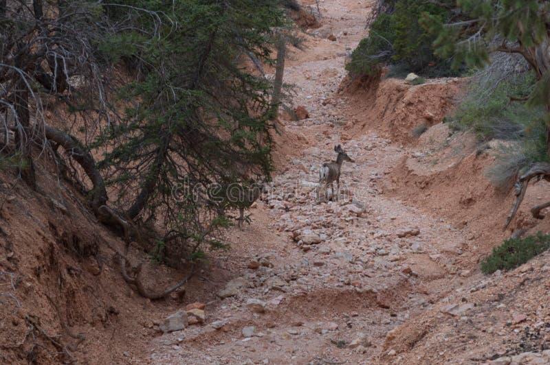 Ένα ελάφι σταματά στο gulley στο φαράγγι του Bryce στοκ φωτογραφίες
