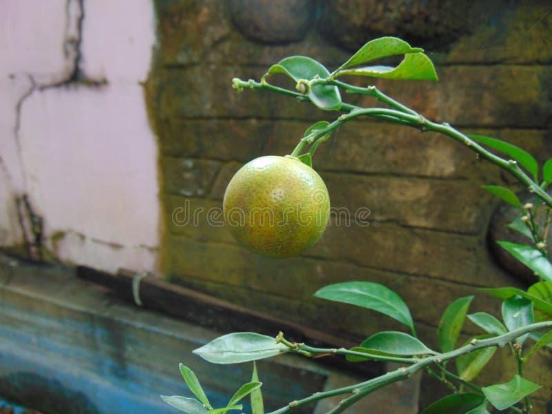 Ένα λεμόνι στοκ εικόνες