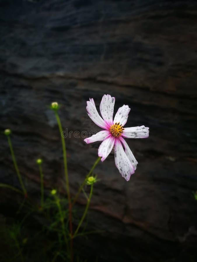 Ένα ενιαίο άσπρο λουλούδι που ανθίζει στη βροχή στοκ εικόνα με δικαίωμα ελεύθερης χρήσης