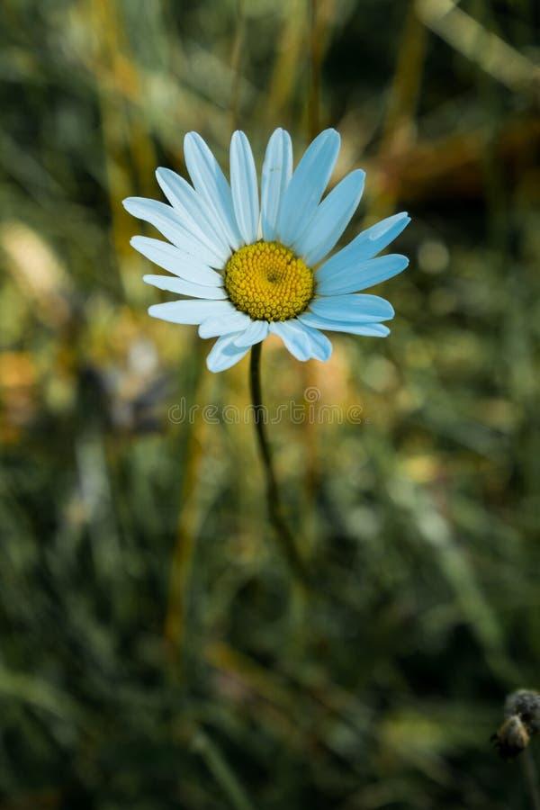 Ένα ενιαίο λουλούδι που αυξάνεται μεταξύ των χλοών Η ομορφιά της απλότητας Dasy στοκ φωτογραφία με δικαίωμα ελεύθερης χρήσης