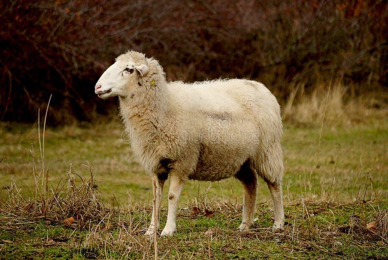 Ένα ενιαίο πρόβατο στη χλόη Περιμένει τους συντρόφους του στοκ φωτογραφία με δικαίωμα ελεύθερης χρήσης