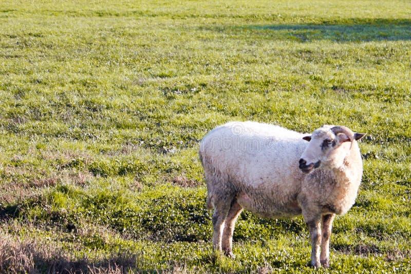 Ένα ενιαίο πρόβατο στη χλόη στοκ εικόνα με δικαίωμα ελεύθερης χρήσης