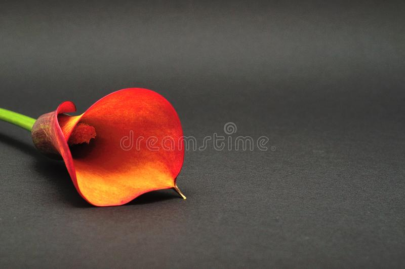 Ένα ενιαίο Arum lilly στοκ φωτογραφίες