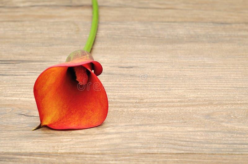 Ένα ενιαίο Arum lilly στοκ εικόνα με δικαίωμα ελεύθερης χρήσης