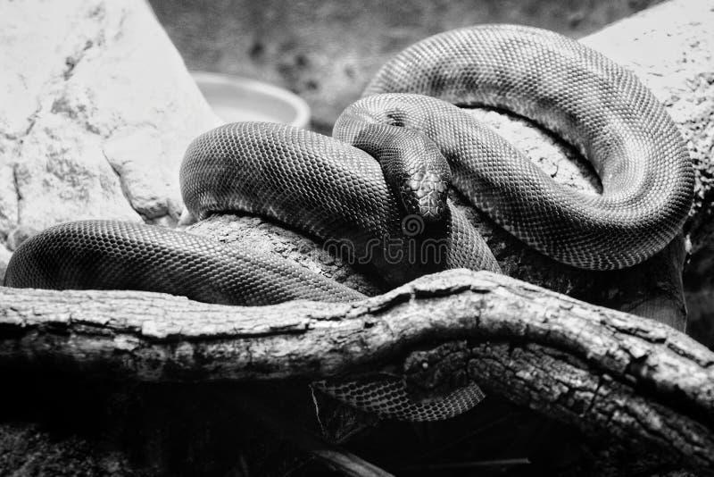 Ένα επικίνδυνο φίδι που στηρίζεται σε έναν κλάδο δέντρων στη σπηλιά του στοκ φωτογραφία με δικαίωμα ελεύθερης χρήσης