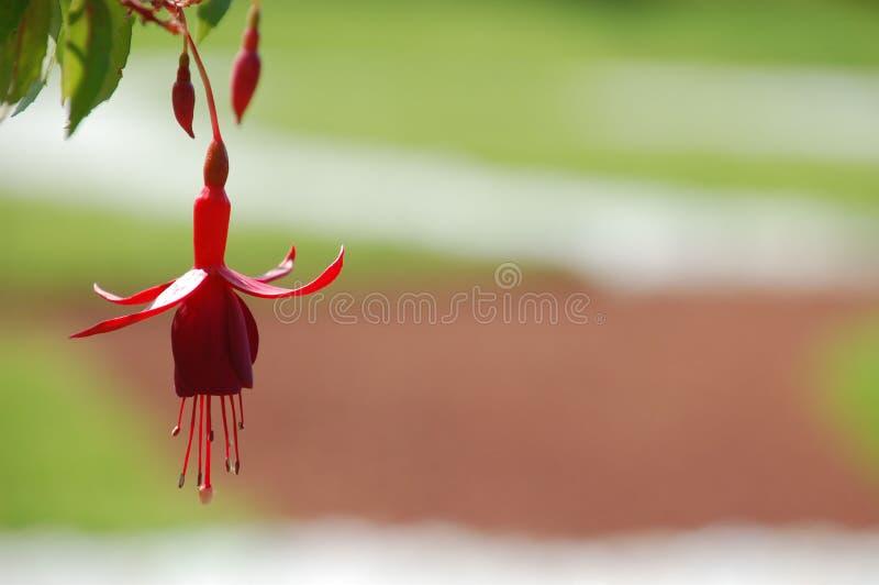 Ένα ερυθρό λουλούδι φυτεύει το φούξια, ένας τύπος ballerina στοκ φωτογραφίες