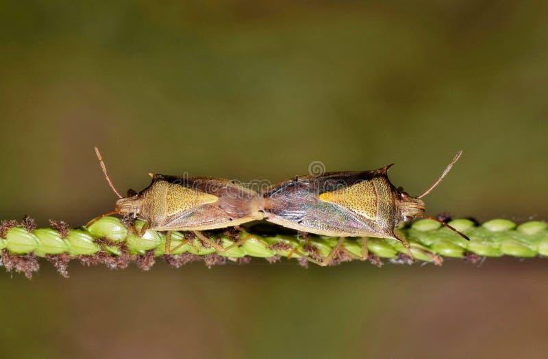 Ένα ζευγάρι ζευγαρώματος του ρυζιού βρωμαά τα ζωύφια στοκ εικόνες