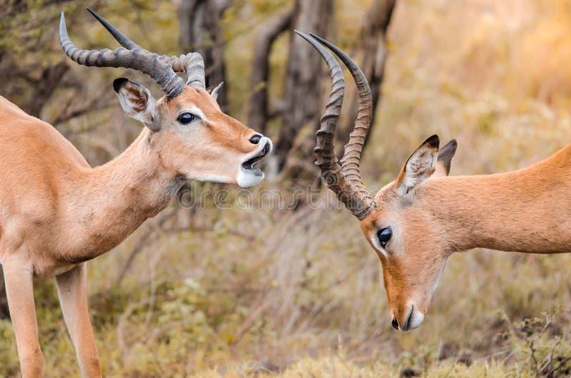 Ένα ζευγάρι της αρσενικής πάλης παιχνιδιού melampus aepyceros impala στο εθνικό πάρκο Kruger, Νότια Αφρική στοκ εικόνες