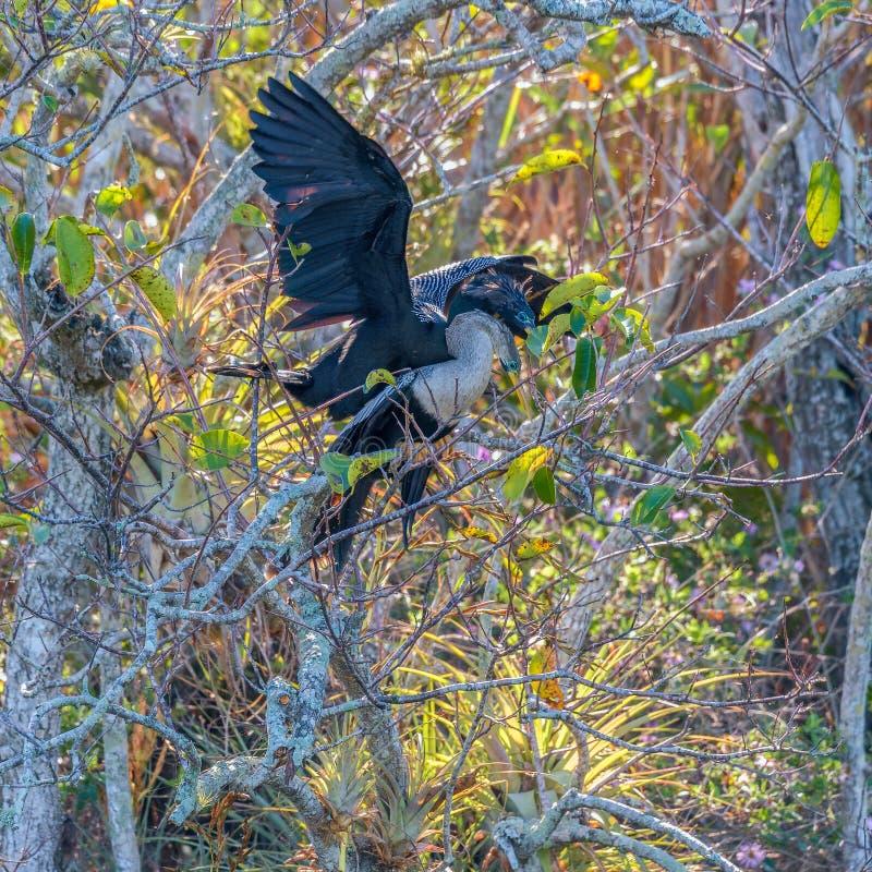 Ένα ζευγάρι του ζευγαρώματος Anhingas κοντά στο ίχνος Anhinga Εθνικό πάρκο Everglades Φλώριδα o στοκ εικόνα με δικαίωμα ελεύθερης χρήσης
